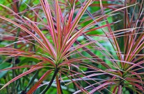 Rainforest Dracaena