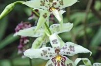 Hawaii Orchid (2)