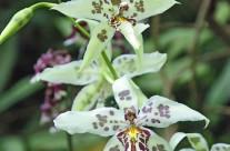 Hawaii Orchid (2)
