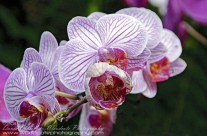 Hawaii Orchid(3)