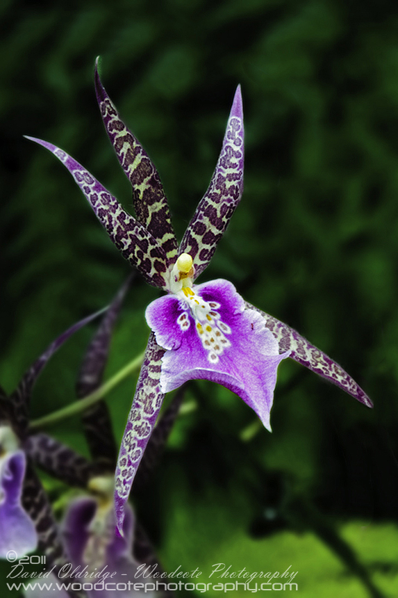 Hawaii Orchid (4)