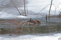 North American Beaver stocking up his larder