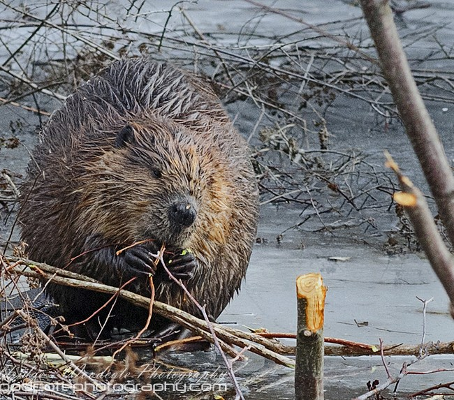 North American Beaver feeding out on the ice