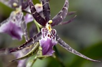 Hawaii Orchid (1)