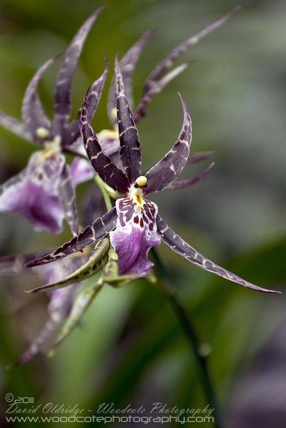 Hawaii Orchid (1)