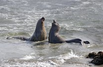 Embattled Elephant Seals
