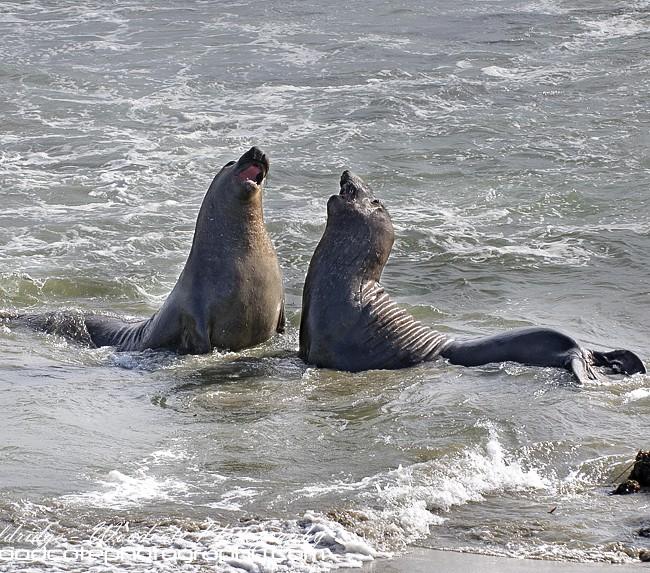 Embattled Elephant Seals