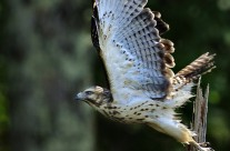 Broad Winged Hawk in launch mode