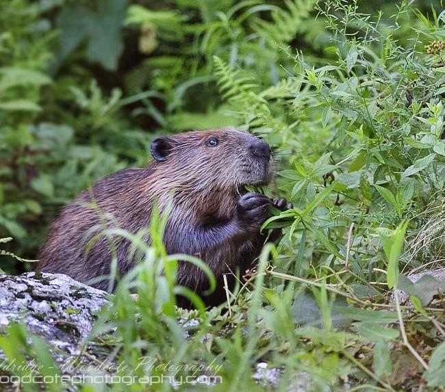 North American Beaver (1)