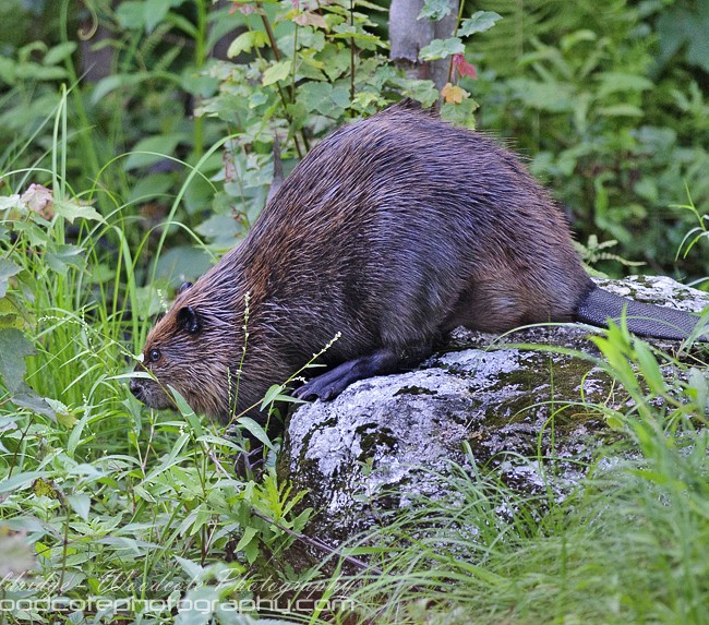 North American Beaver (2)