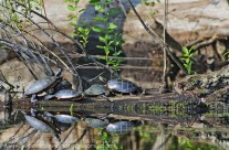 Gathering of Painted Turtles basking