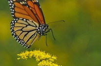 Monarch Butterfly about to alight on the flower
