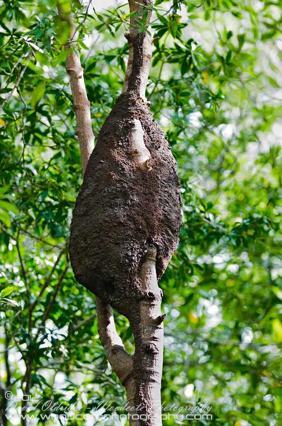 Mangrove Tree Ants' Nest in Costa Rica