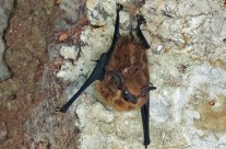 Costa Rican Bat