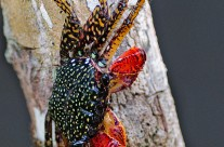 A spectacular Mangrove Crab in Costa Rica