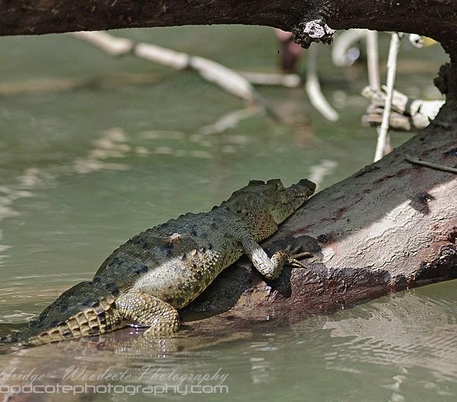Costa Rican Alligator