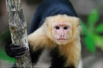 White Faced Capuchin – Inquisitive