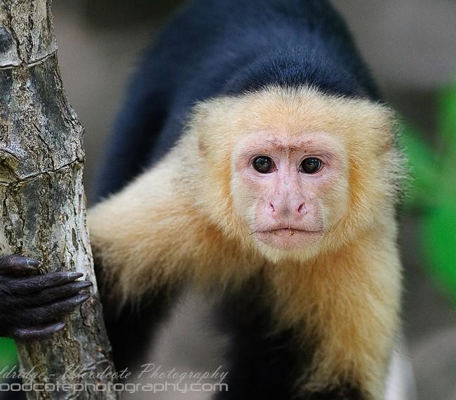 White Faced Capuchin – Inquisitive