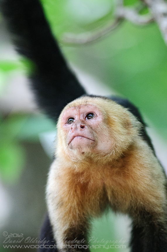 White Faced Capuchin – Intense