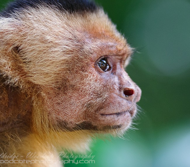 White Faced Capuchin from his good side
