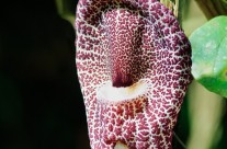 Foul Smelling Carrion Flower