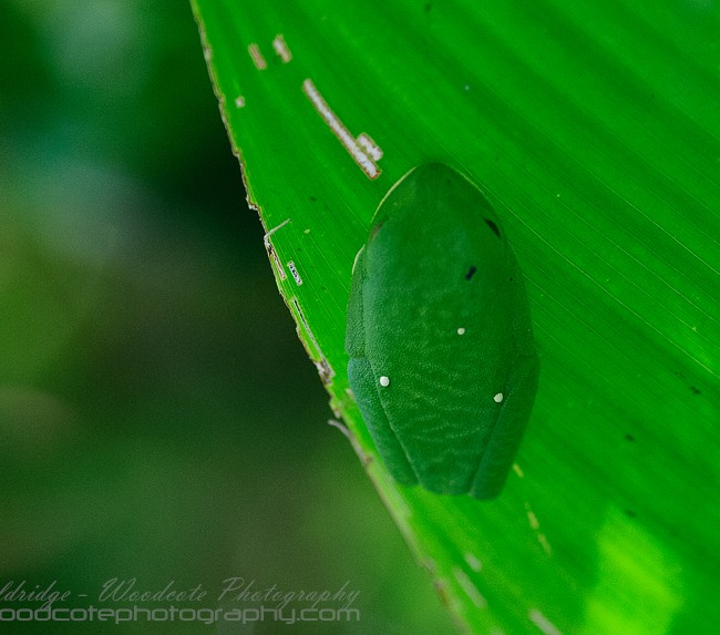 Red Eyed Tree Frog asleep under a leaf – Costa Rica