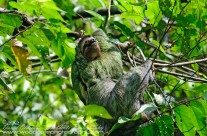 Three Toed Sloth (3)