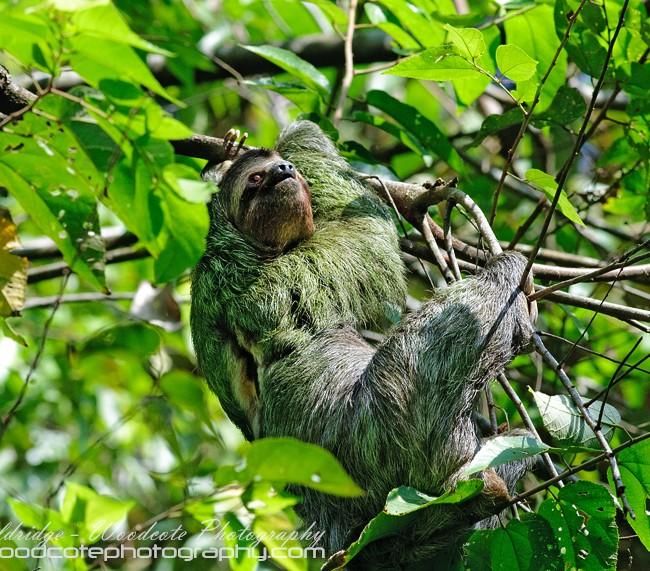 Three Toed Sloth (3)