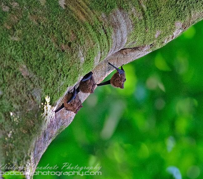 Costa Rican Bats