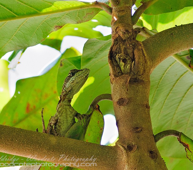 Female Basilisk in Costa Rica