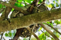 Boa Constrictor – asleep thankfully