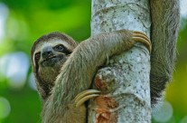 Three Toed Sloth (1)