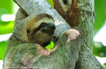 Three Toed Sloth (2)