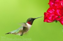 Ruby Throated Hummingbird (24)