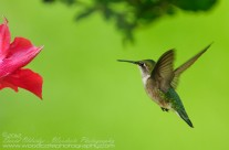 Ruby Throated Hummingbird (23)