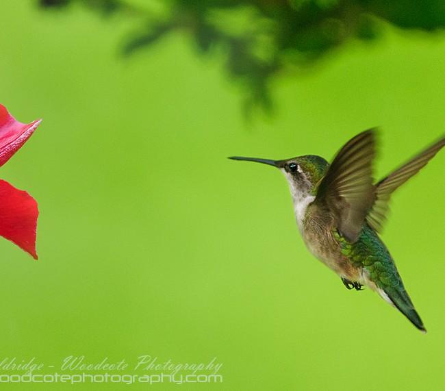 Ruby Throated Hummingbird (23)