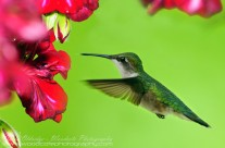 Ruby Throated Hummingbird (22)