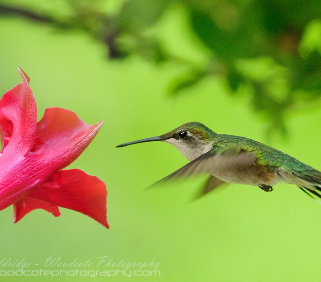 Ruby Throated Hummingbird (21)
