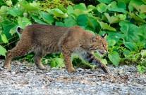 Bobcat (1)