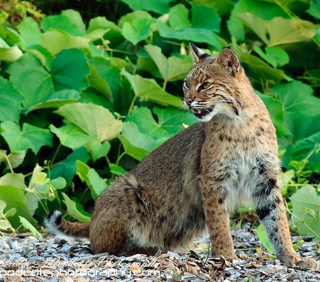 Bobcat (3)