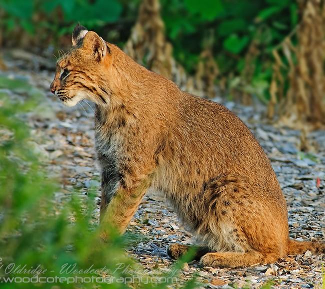 Bobcat (4)