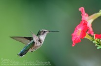 Ruby Throated Hummingbird (20)