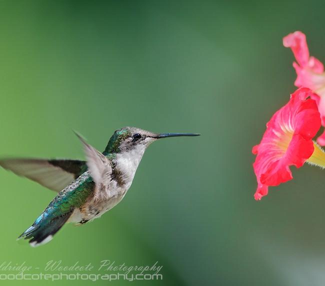 Ruby Throated Hummingbird (20)