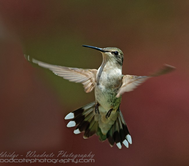 Ruby Throated Hummingbird (19)