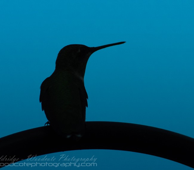 Ruby Throated Hummingbird at dusk