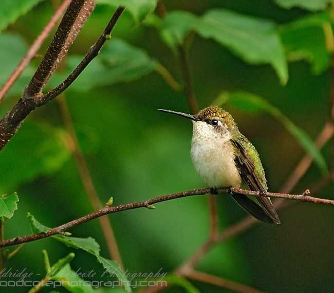 Sentry Duty – Ruby Throated Hummingbird