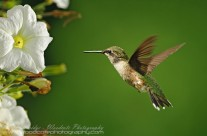 Ruby Throated Hummingbird (18)