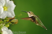 Ruby Throated Hummingbird (17)