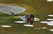Snapping Turtle feeding