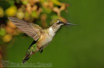 Ruby Throated Hummingbird (16)